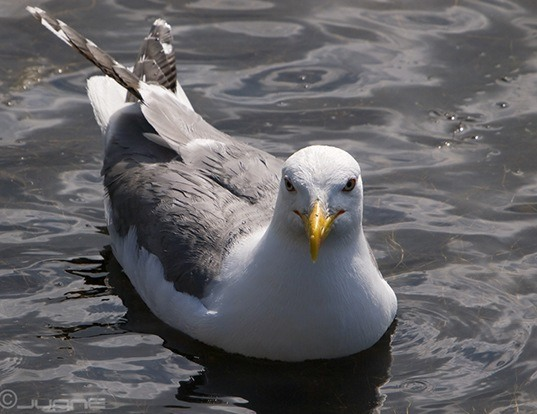 Picture of a caspian gull (Larus cachinnans)