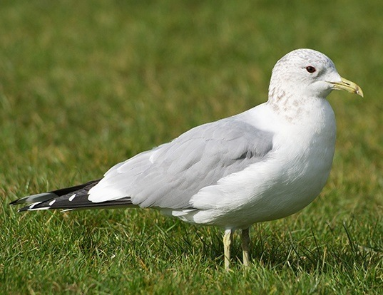 Picture of a mew gull (Larus canus)