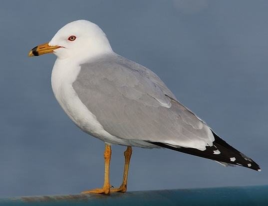 Picture of a ring-billed gull (Larus delawarensis)