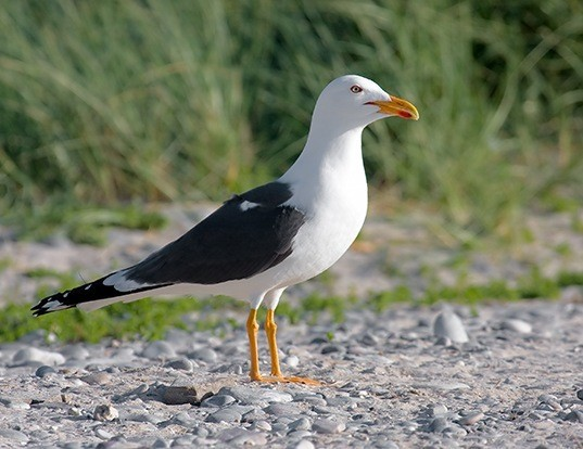 Picture of a lesser black-backed gull (Larus fuscus)