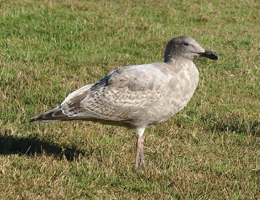Picture of a glaucous-winged gull (Larus glaucescens)