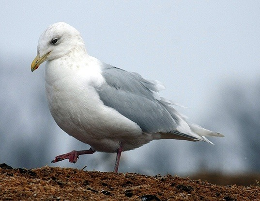Picture of a iceland gull (Larus glaucoides)