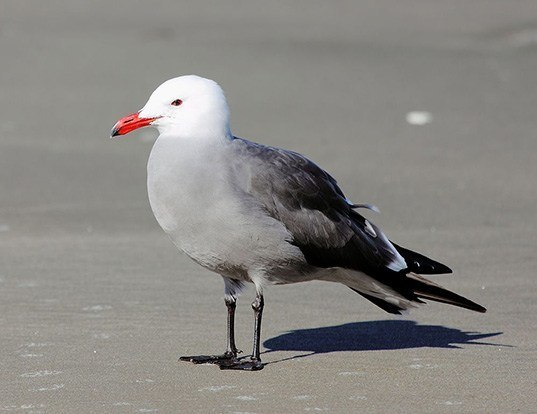 Picture of a heermann's gull (Larus heermanni)