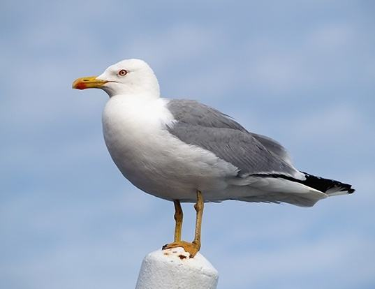 Picture of a yellow-legged gull (Larus michahellis)