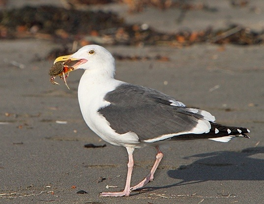 Picture of a western gull (Larus occidentalis)