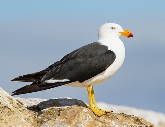 Picture of a pacific gull (Larus pacificus)