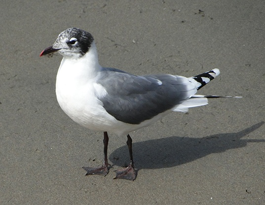 Picture of a franklin's gull (Larus pipixcan)