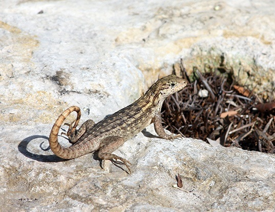 Picture of a northern curlytail lizard (Leiocephalus carinatus)