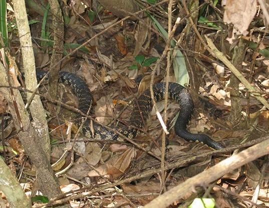 Picture of a madagascar giant hognose snake (Leioheterodon madagascariensis)