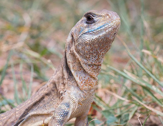 Picture of a butterfly lizard (Leiolepis belliana)