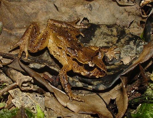 Picture of a hamilton's frog (Leiopelma hamiltoni)