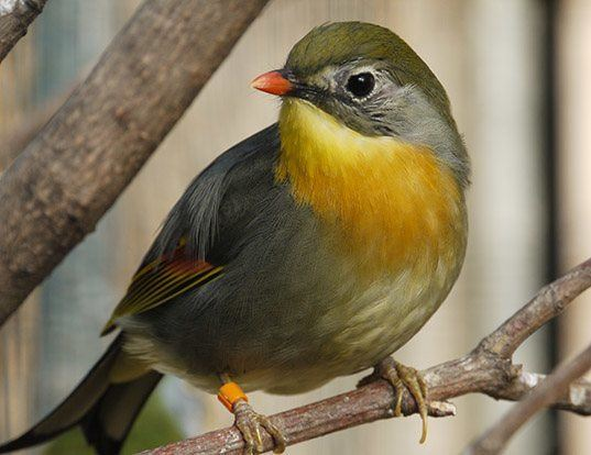 Picture of a red-billed leothrix (Leiothrix lutea)