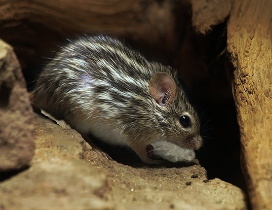 Picture of a barbary striped grass mouse (Lemniscomys barbarus)