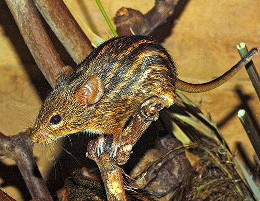 Picture of a typical striped grass mouse (Lemniscomys striatus)