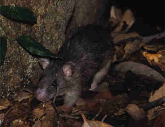 Picture of a gray tree rat (Lenothrix canus)