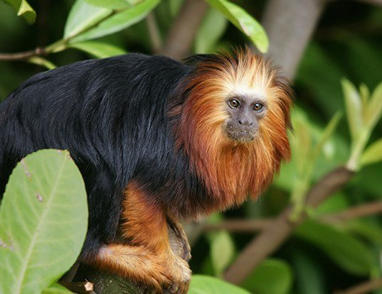 Picture of a golden-headed lion tamarin (Leontopithecus chrysomelas)