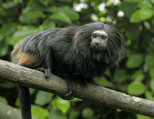 Picture of a golden-rumped lion tamarin (Leontopithecus chrysopygus)