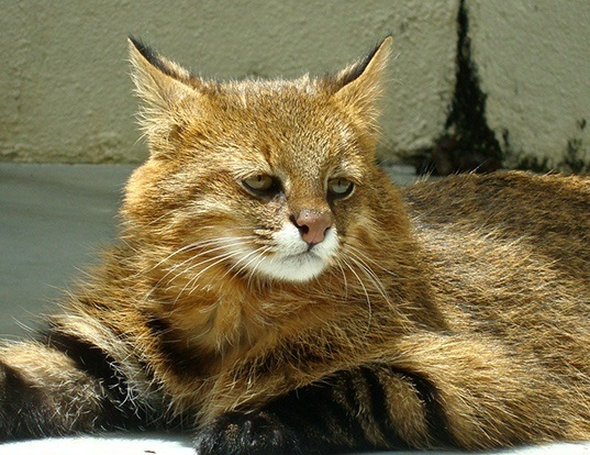 Picture of a pampas cat (Leopardus colocolo)