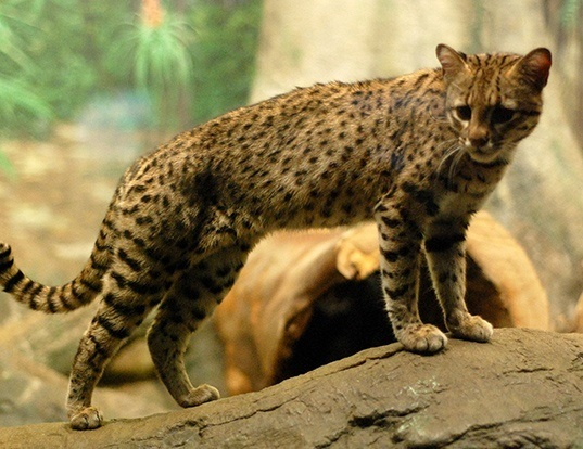 Geoffroy S Cat Life Span