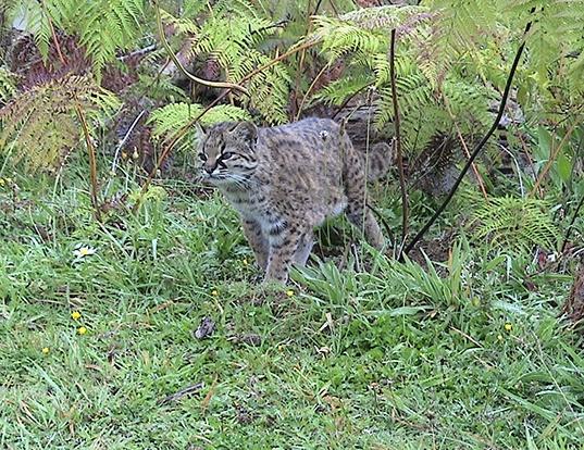 Picture of a chilean cat (Leopardus guigna)