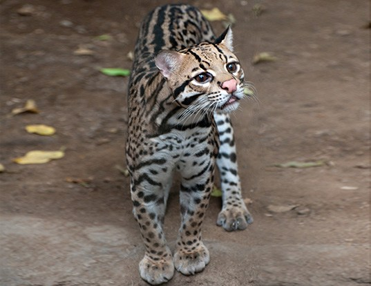 Picture of a ocelot (Leopardus pardalis)