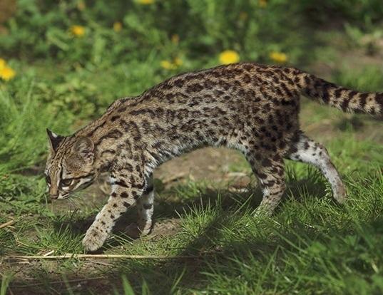 Picture of a oncilla (Leopardus tigrinus)