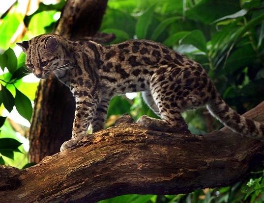 Picture of a margay (Leopardus wiedii)