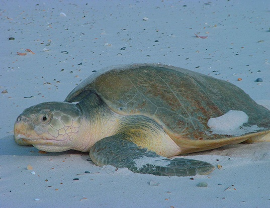 Picture of a kemp's ridley (Lepidochelys kempii)