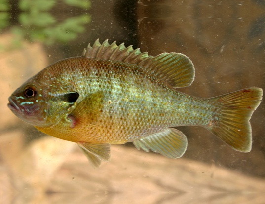Bluegill life expectancy for Blue gill fishing