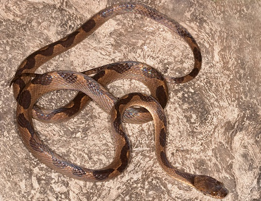 Picture of a american annulated snake (Leptodeira annulata)