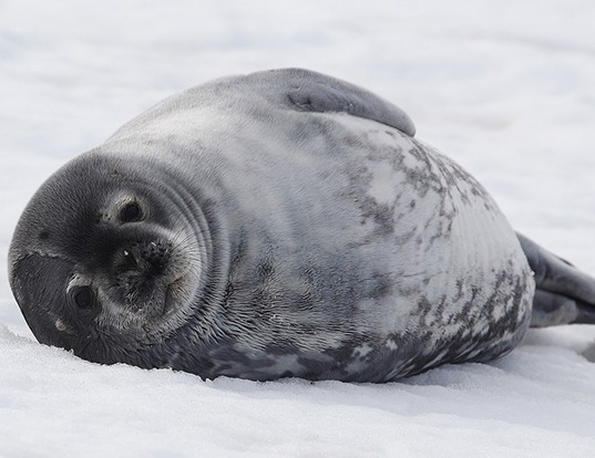 Picture of a weddell seal (Leptonychotes weddellii)