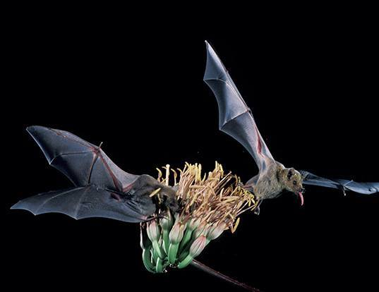 Picture of a curacaoan long-nosed bat (Leptonycteris curasoae)