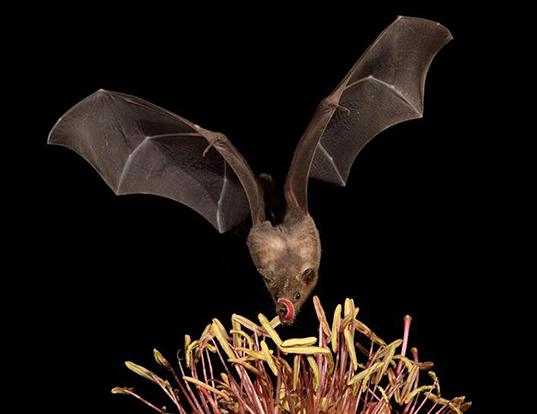 Picture of a greater long-nosed bat (Leptonycteris nivalis)