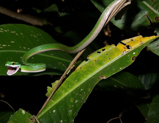 Picture of a parrot snake (Leptophis mexicanus)