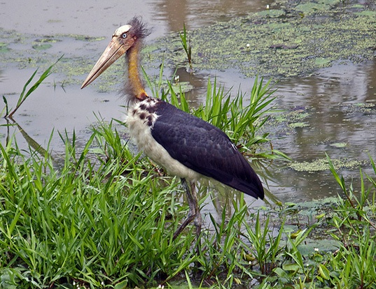 Picture of a lesser adjutant (Leptoptilos javanicus)