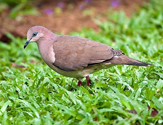 Picture of a white-tipped dove (Leptotila verreauxi)