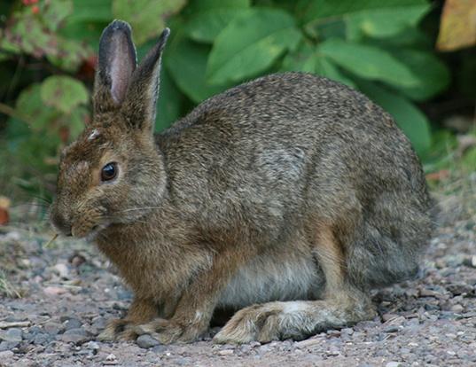 Picture of a snowshoe hare (Lepus americanus)