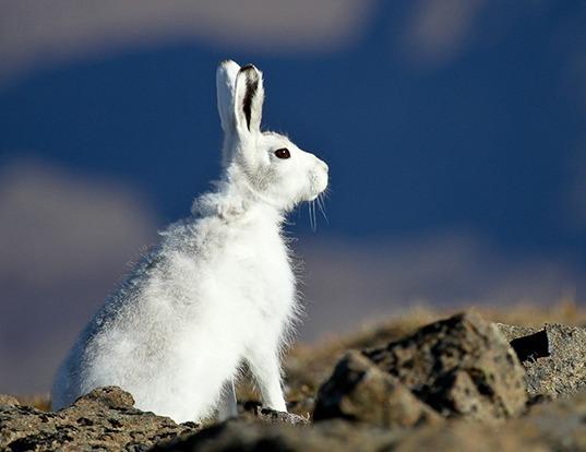 Picture of a arctic hare (Lepus arcticus)