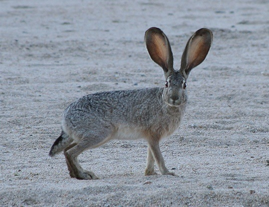 Picture of a black-tailed jack rabbit (Lepus californicus)