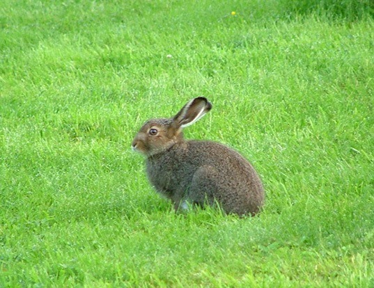 Picture of a mountain hare (Lepus timidus)