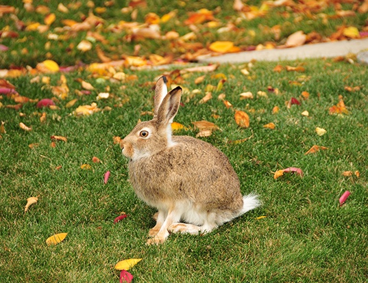 Picture of a white-tailed jackrabbit (Lepus townsendii)