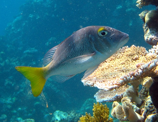 Picture of a pacific yellowtail emperor (Lethrinus atkinsoni)