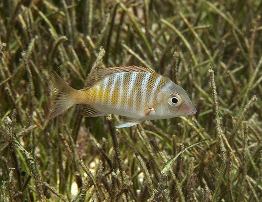 Picture of a sky emperor (Lethrinus mahsena)