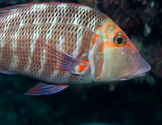 Picture of a sweetlip emperor (Lethrinus miniatus)