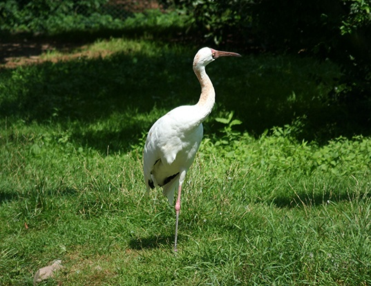 Picture of a siberian crane (Leucogeranus leucogeranus)