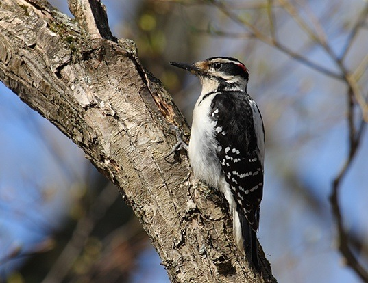 Picture of a hairy woodpecker (Leuconotopicus villosus)