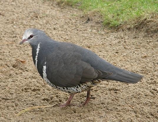 Picture of a wonga pigeon (Leucosarcia melanoleuca)