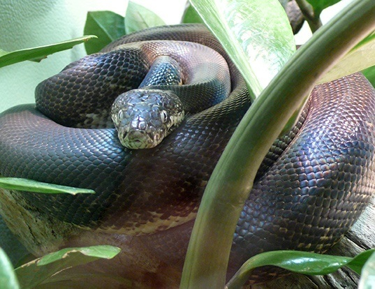 Picture of a macklot's python (Liasis mackloti)