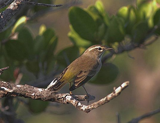 Picture of a swainson's warbler (Limnothlypis swainsonii)