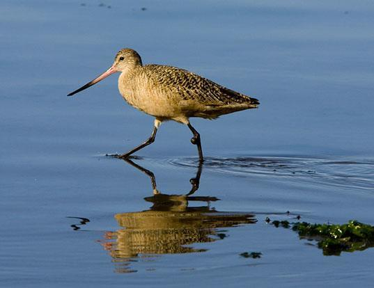 Picture of a marbled godwit (Limosa fedoa)
